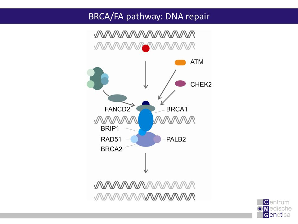 BRCA/FA pathway: DNA repair