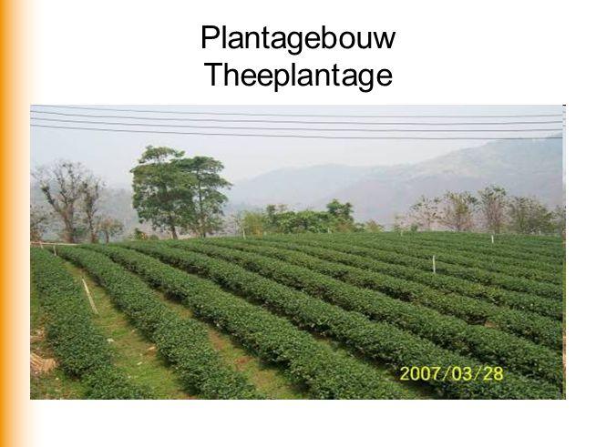 Plantagebouw Theeplantage