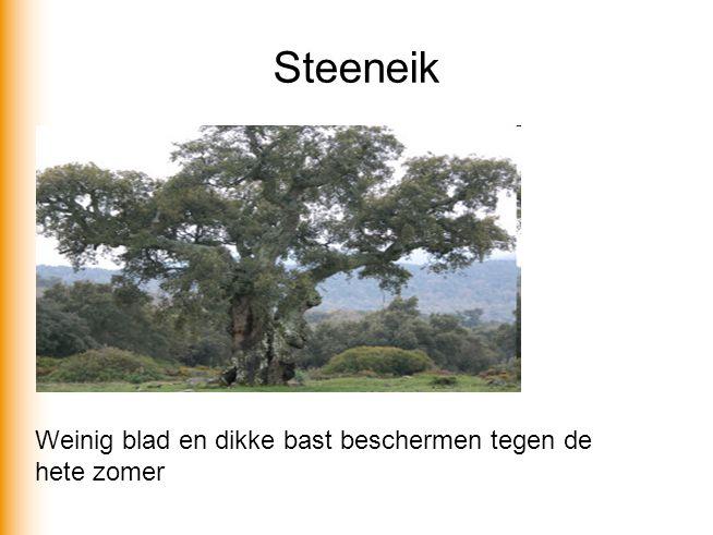 Steeneik Weinig blad en dikke bast beschermen tegen de hete zomer