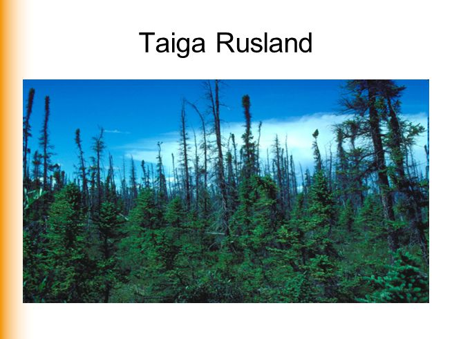 Taiga Rusland