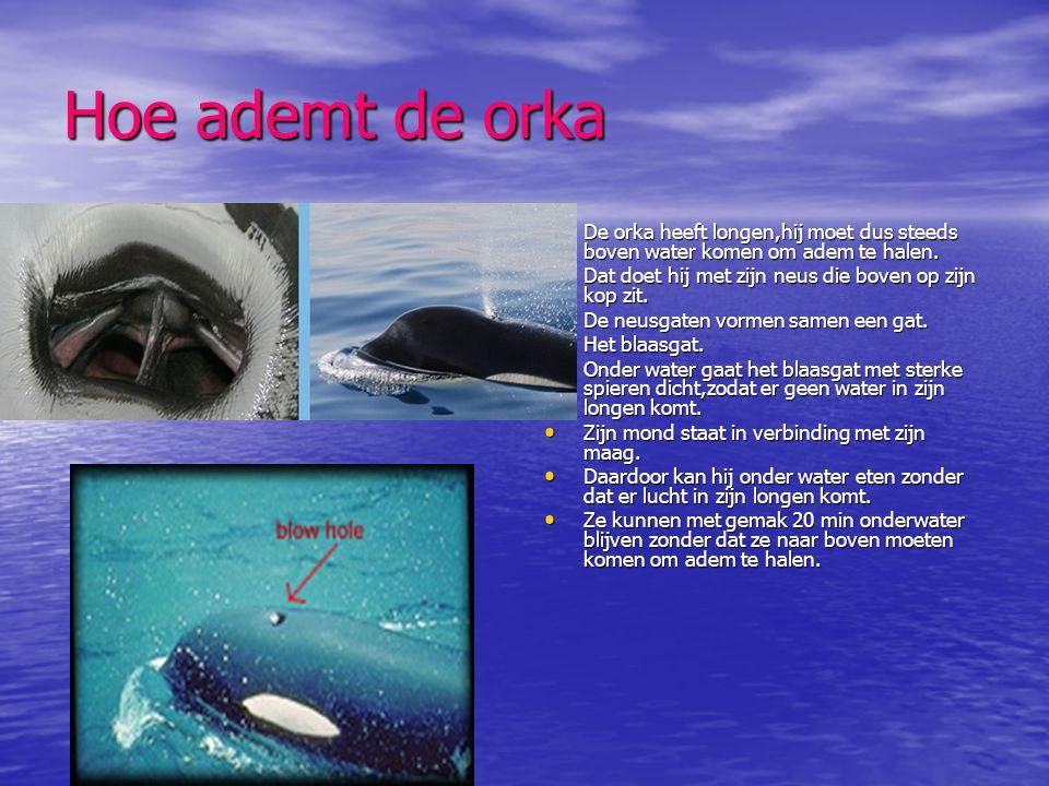 Hoe ademt de orka De orka heeft longen,hij moet dus steeds boven water komen om adem te halen. Dat doet hij met zijn neus die boven op zijn kop zit.