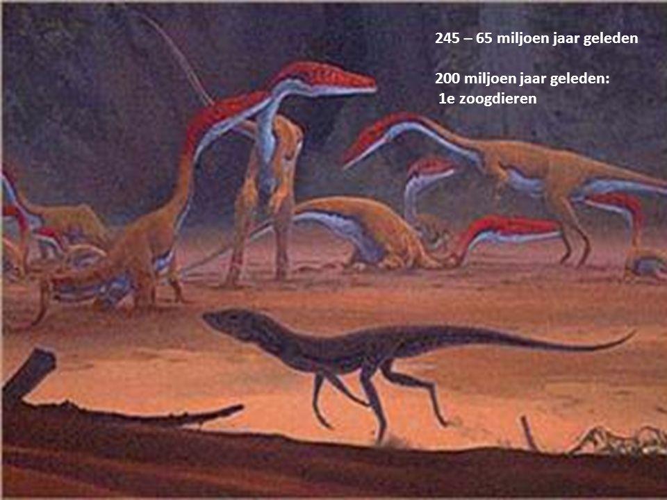 245 – 65 miljoen jaar geleden 200 miljoen jaar geleden: 1e zoogdieren