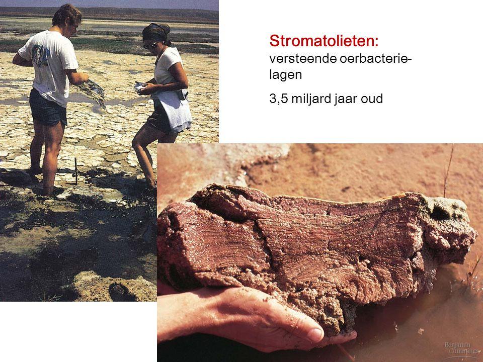 Stromatolieten: versteende oerbacterie-lagen