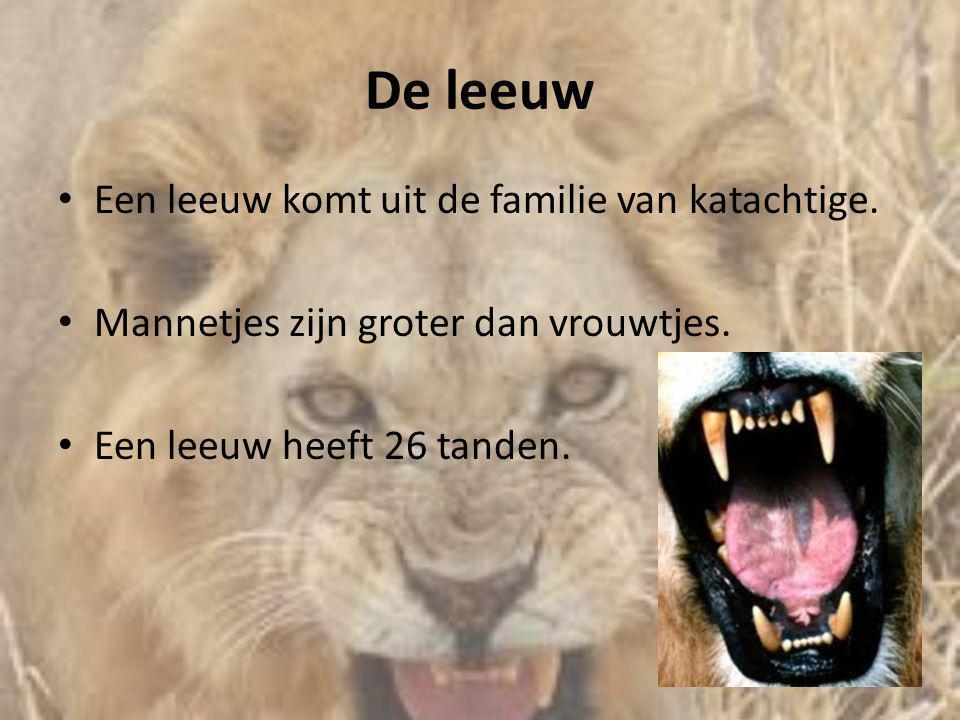 De leeuw Een leeuw komt uit de familie van katachtige.