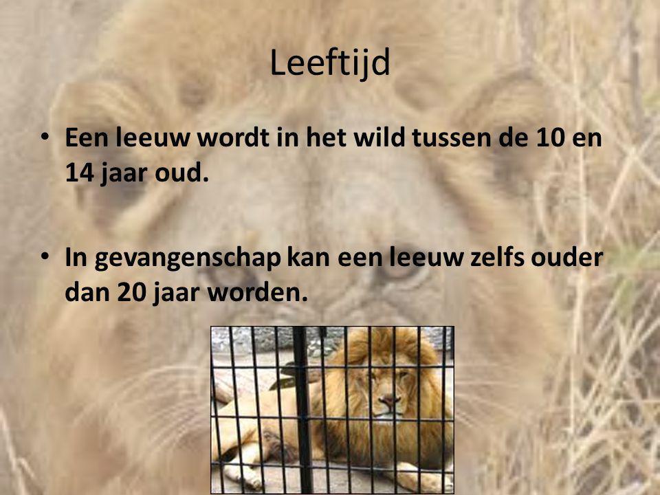Leeftijd Een leeuw wordt in het wild tussen de 10 en 14 jaar oud.