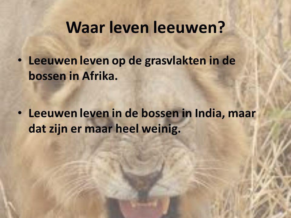 Waar leven leeuwen. Leeuwen leven op de grasvlakten in de bossen in Afrika.