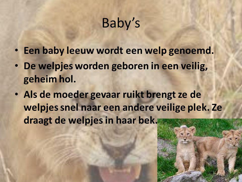Baby's Een baby leeuw wordt een welp genoemd.
