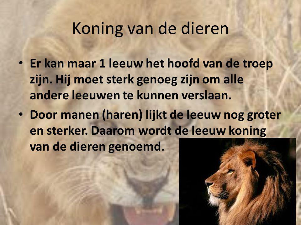 Koning van de dieren Er kan maar 1 leeuw het hoofd van de troep zijn. Hij moet sterk genoeg zijn om alle andere leeuwen te kunnen verslaan.