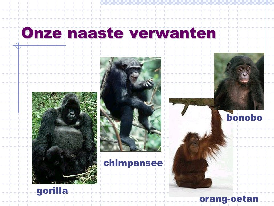 Onze naaste verwanten bonobo chimpansee gorilla orang-oetan