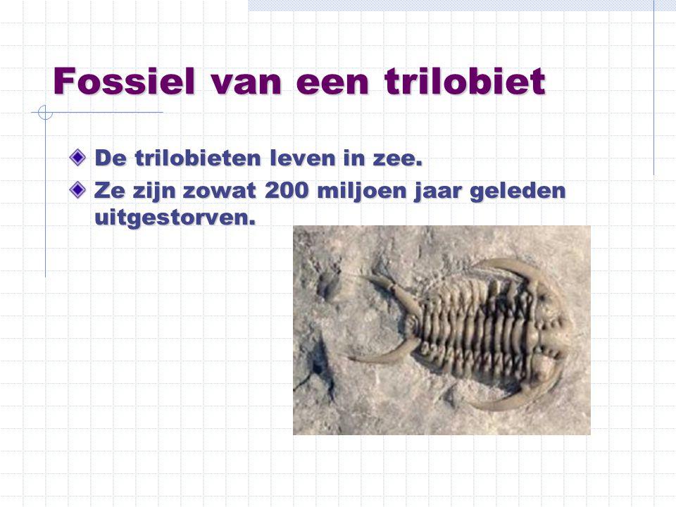 Fossiel van een trilobiet