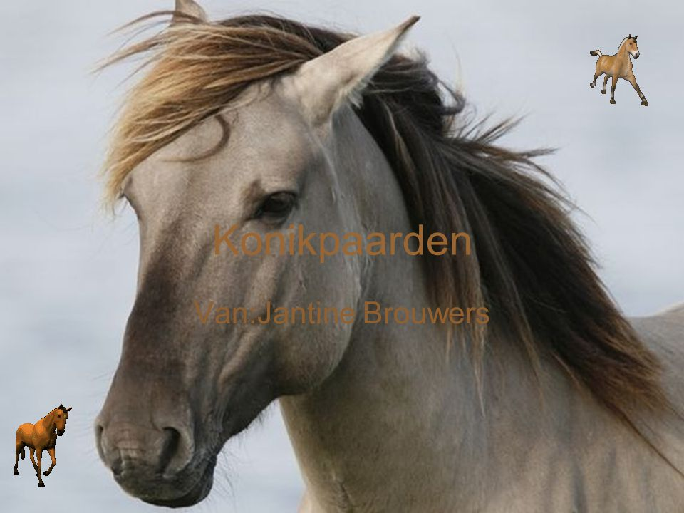 Konikpaarden Van:Jantine Brouwers