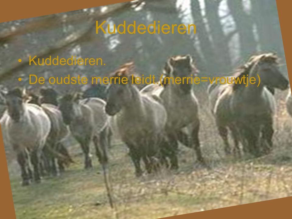 Kuddedieren Kuddedieren. De oudste merrie leidt.(merrie=vrouwtje)