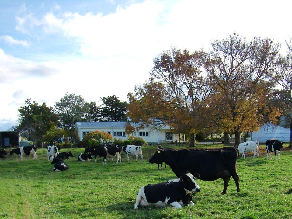 Koeien bij huis
