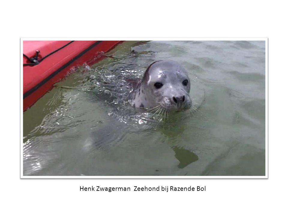 Henk Zwagerman Zeehond bij Razende Bol