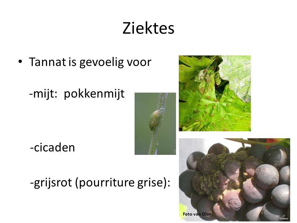 Ziektes Tannat is gevoelig voor -mijt: pokkenmijt -cicaden