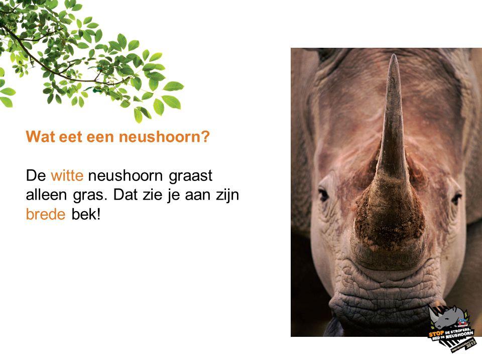 Wat eet een neushoorn De witte neushoorn graast alleen gras. Dat zie je aan zijn brede bek!