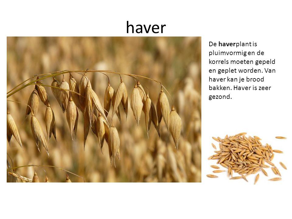 haver De haverplant is pluimvormig en de korrels moeten gepeld en geplet worden.