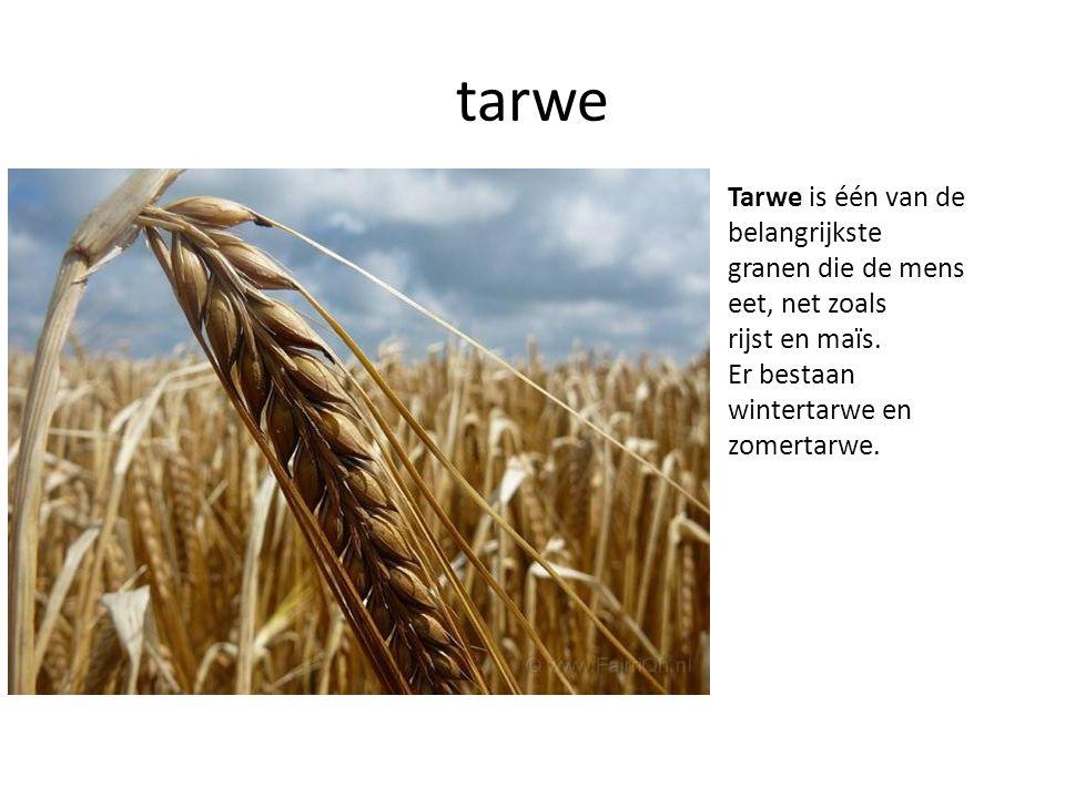 tarwe Tarwe is één van de belangrijkste granen die de mens eet, net zoals rijst en maïs.