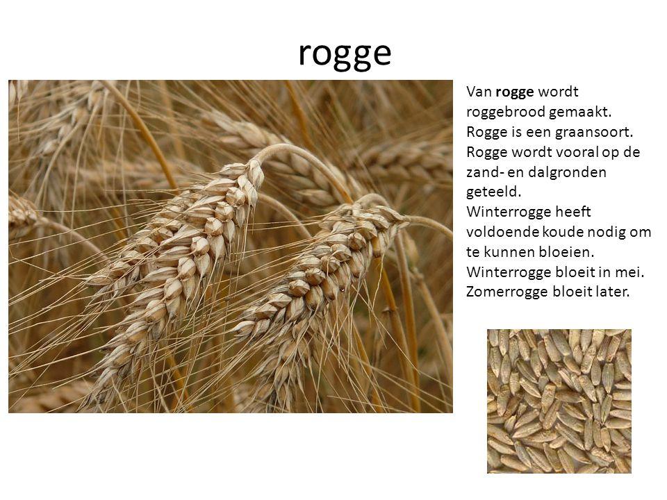 rogge Van rogge wordt roggebrood gemaakt. Rogge is een graansoort.