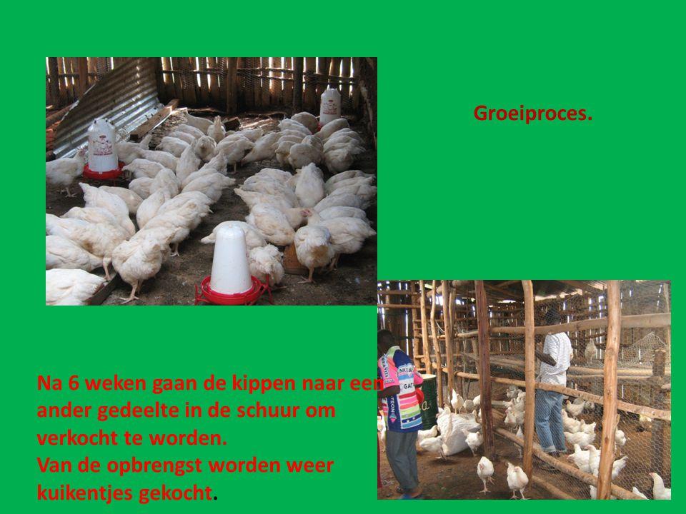 Groeiproces. Na 6 weken gaan de kippen naar een. ander gedeelte in de schuur om. verkocht te worden.