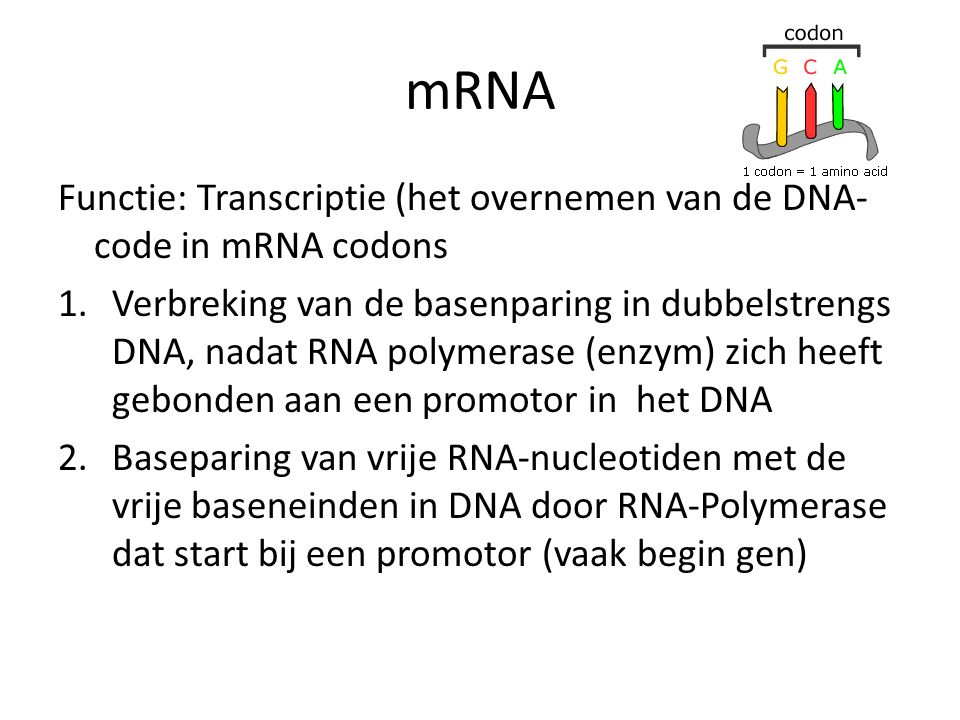 mRNA Functie: Transcriptie (het overnemen van de DNA-code in mRNA codons.