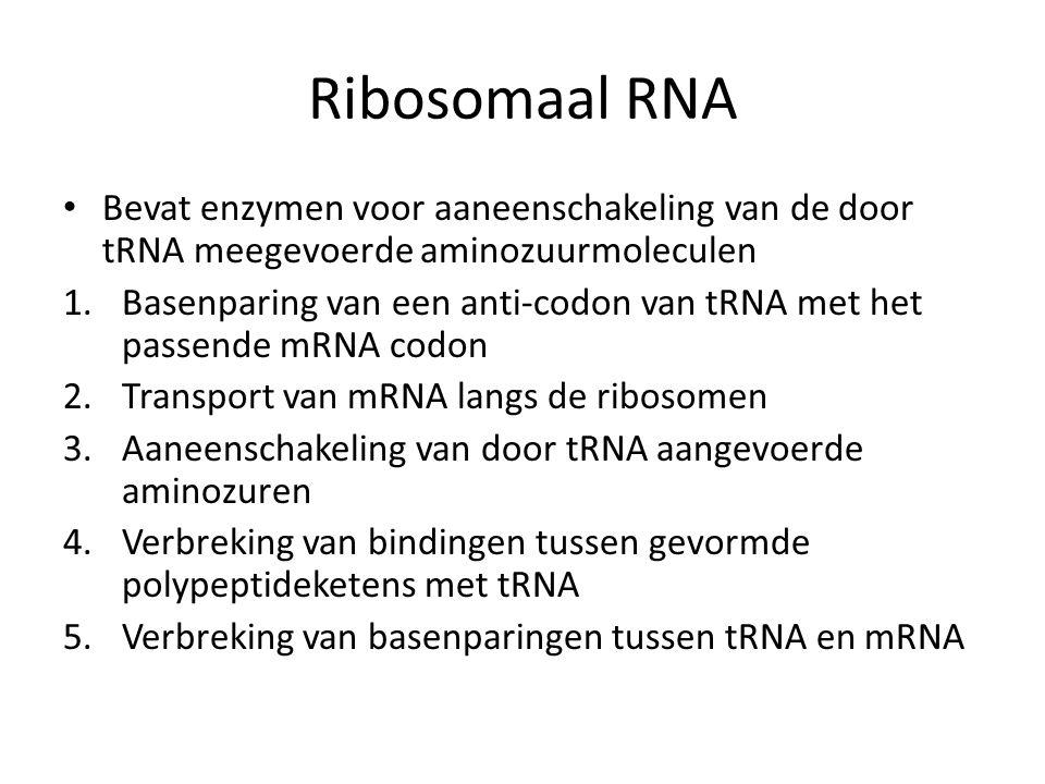 Ribosomaal RNA Bevat enzymen voor aaneenschakeling van de door tRNA meegevoerde aminozuurmoleculen.
