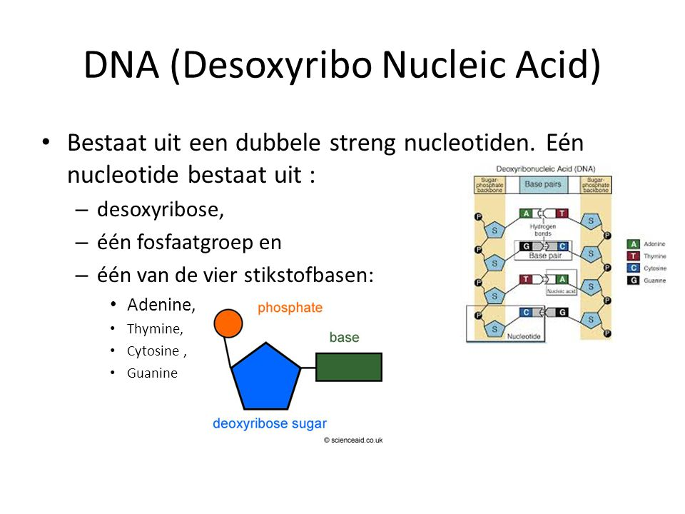 DNA (Desoxyribo Nucleic Acid)