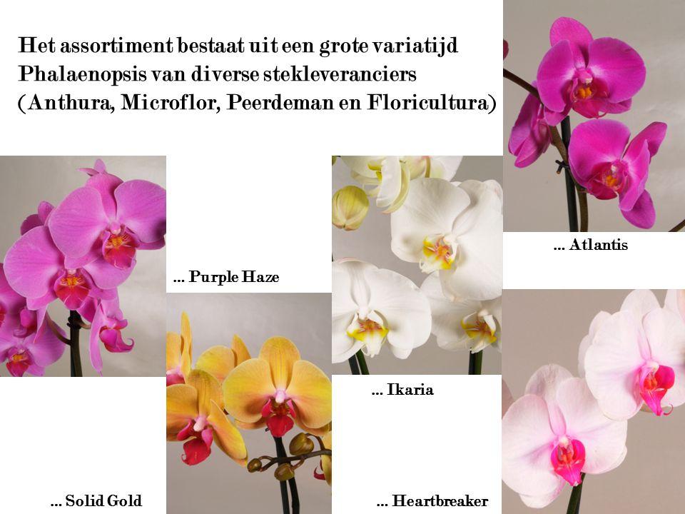 Het assortiment bestaat uit een grote variatijd Phalaenopsis van diverse stekleveranciers (Anthura, Microflor, Peerdeman en Floricultura)