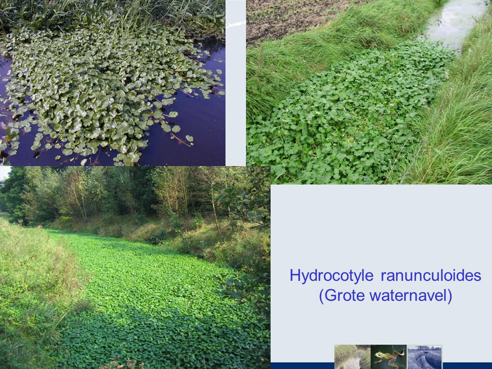 Hydrocotyle ranunculoides (Grote waternavel)