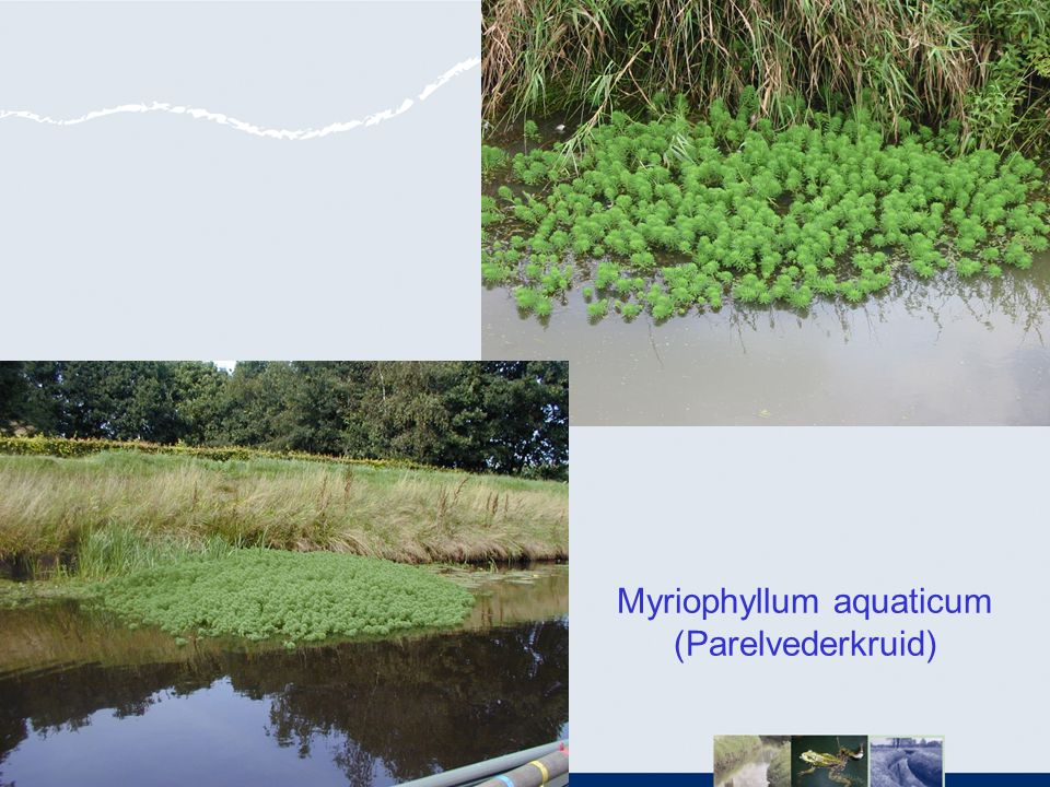 Myriophyllum aquaticum (Parelvederkruid)