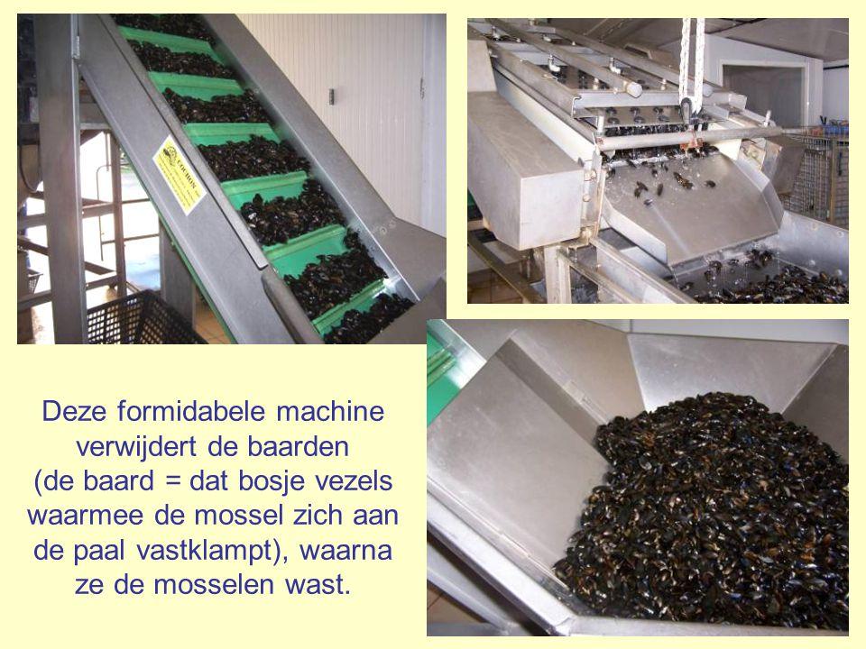 Deze formidabele machine verwijdert de baarden (de baard = dat bosje vezels waarmee de mossel zich aan de paal vastklampt), waarna ze de mosselen wast.