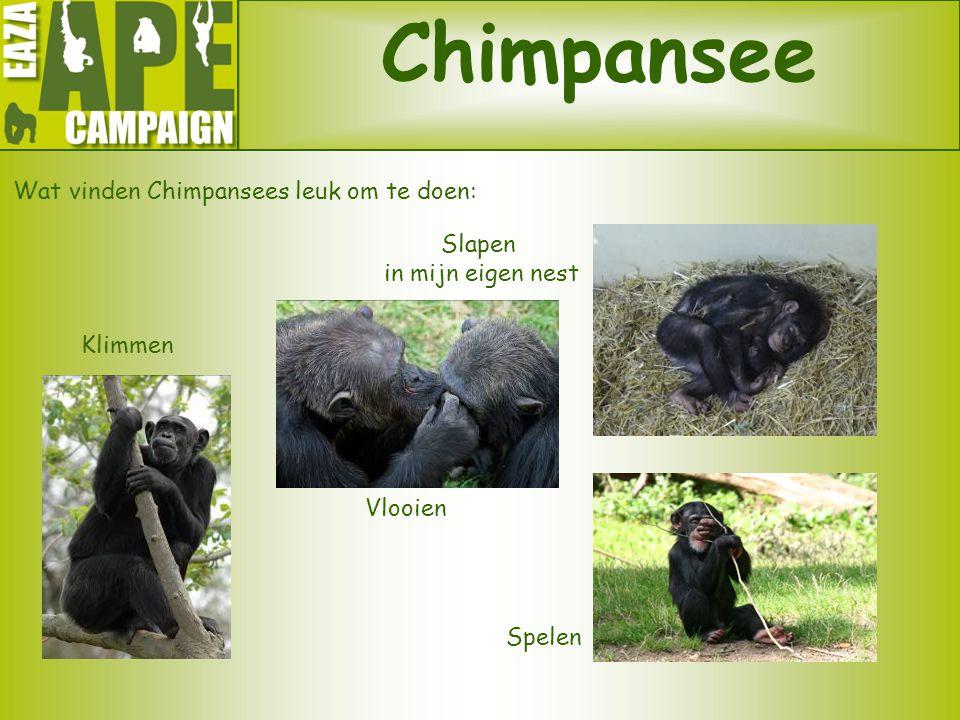 Chimpansee Wat vinden Chimpansees leuk om te doen: