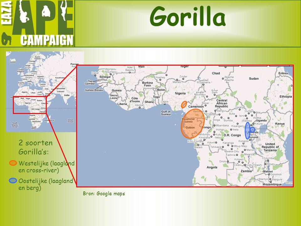 Gorilla 2 soorten Gorilla's: Westelijke (laagland en cross-river)