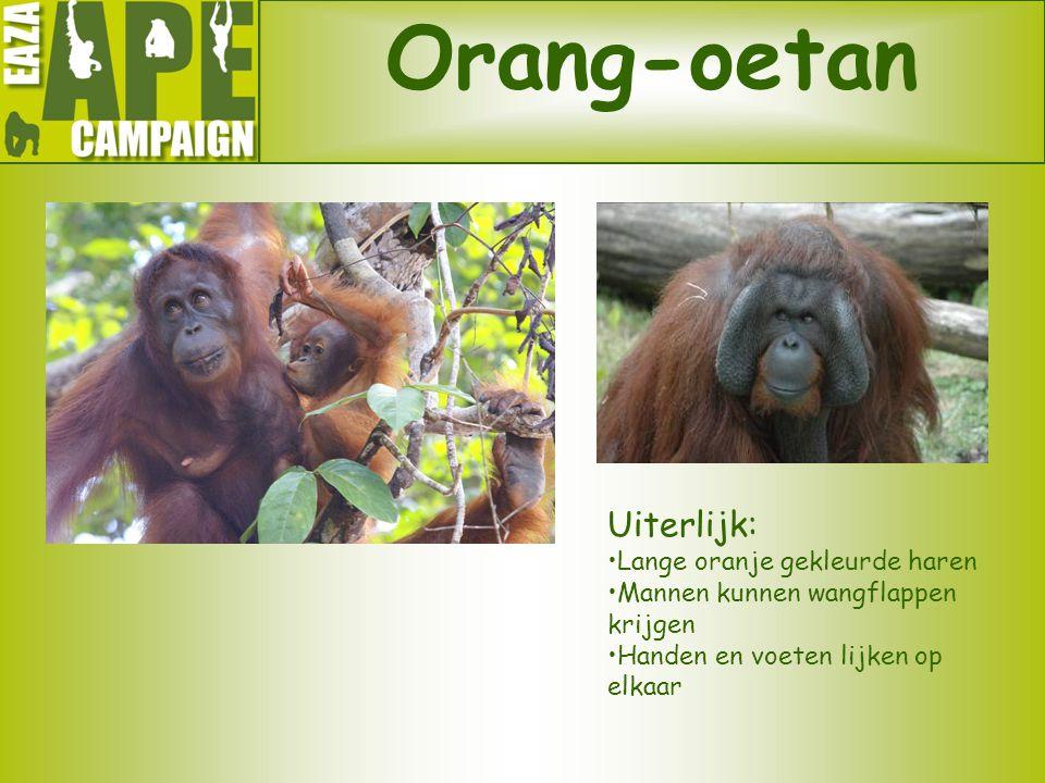 Orang-oetan Uiterlijk: Lange oranje gekleurde haren