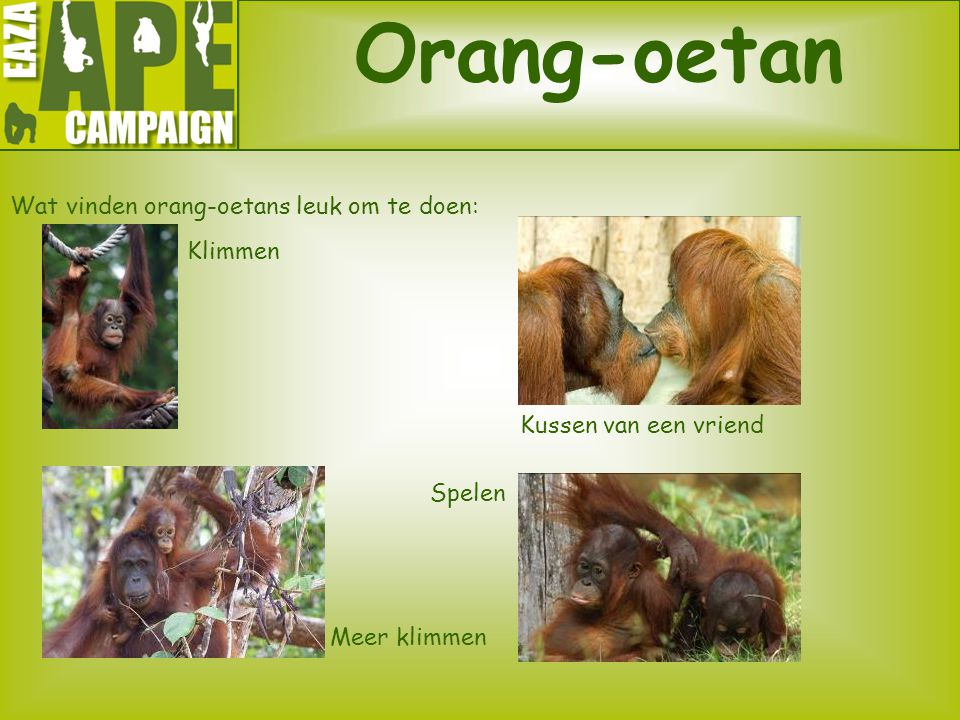 Wat vinden orang-oetans leuk om te doen: