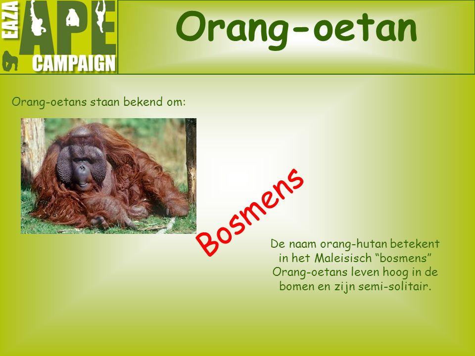 Orang-oetans staan bekend om:
