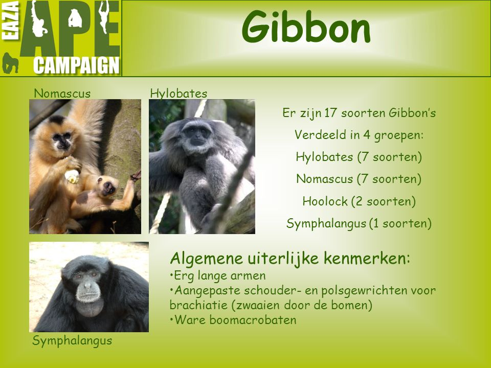 Gibbon Algemene uiterlijke kenmerken: Nomascus Hylobates