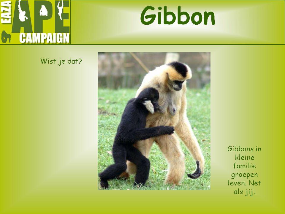 Gibbons in kleine familie groepen leven. Net als jij.