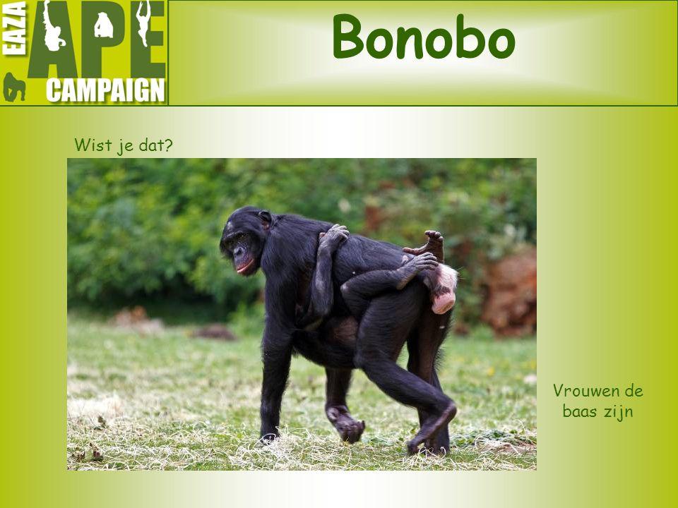 Bonobo Wist je dat Vrouwen de baas zijn