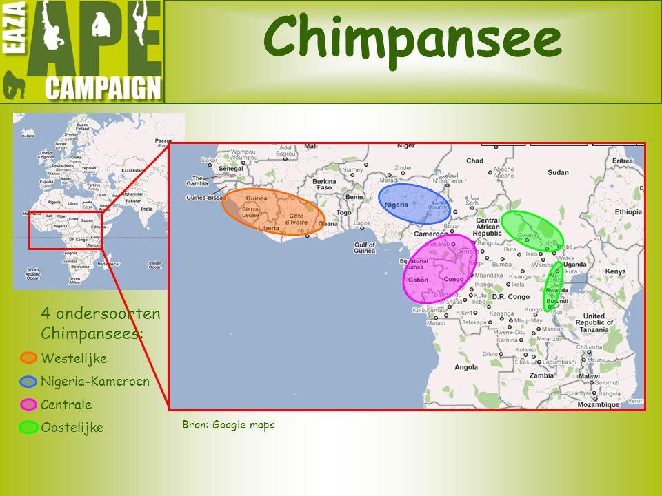 Chimpansee 4 ondersoorten Chimpansees: Westelijke Nigeria-Kameroen