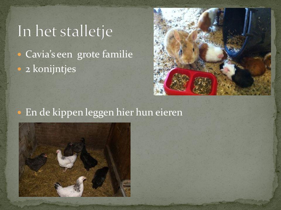 In het stalletje Cavia's een grote familie 2 konijntjes