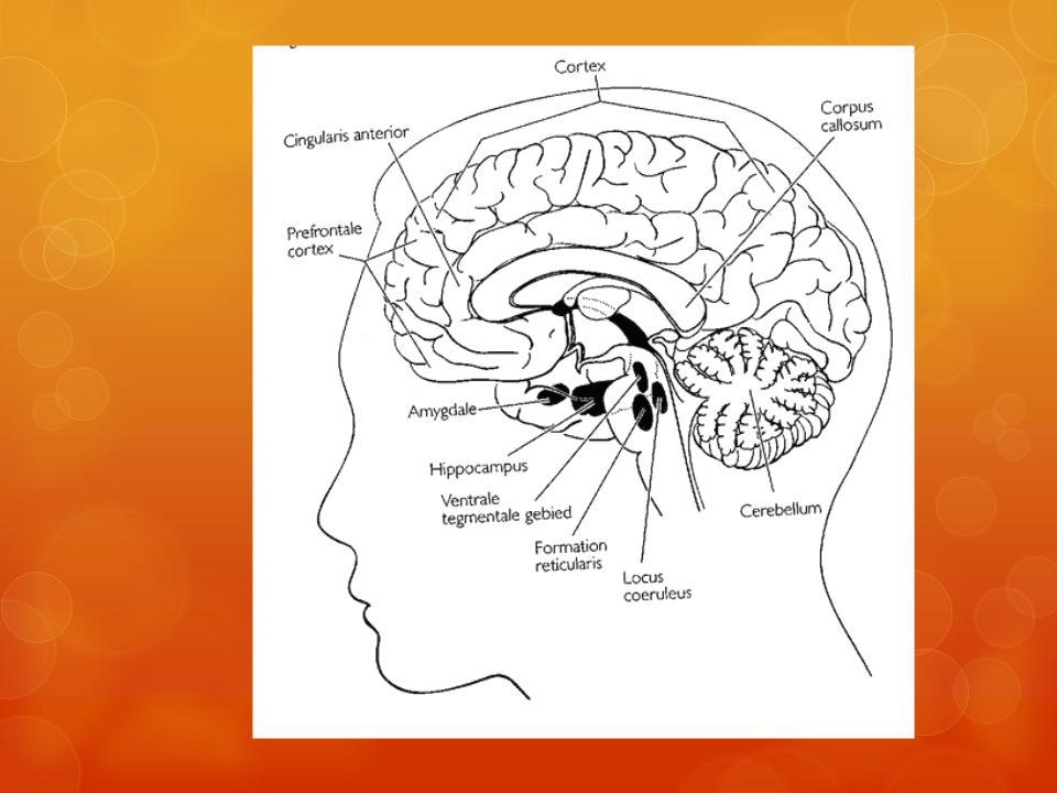 Werk geheugen ligt in prefrontale cortex