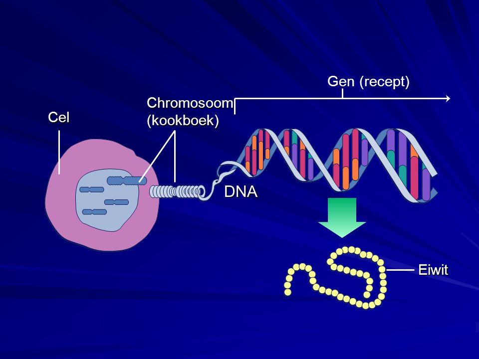 Gen (recept) Chromosoom (kookboek) Cel DNA Eiwit
