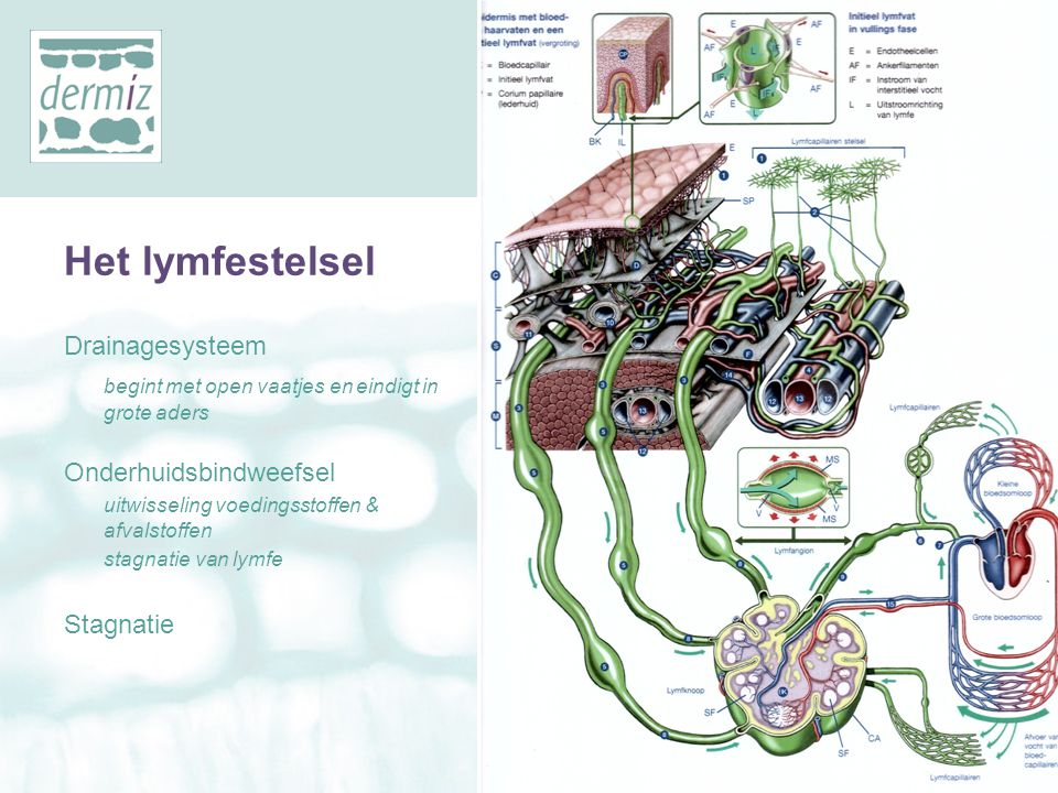 Het lymfestelsel YMFOEDEEM Drainagesysteem