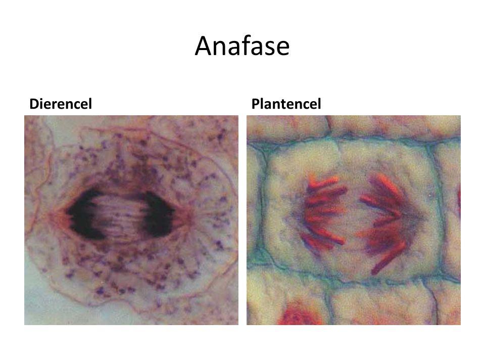Anafase Dierencel Plantencel