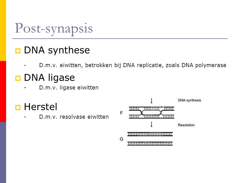 Post-synapsis DNA synthese