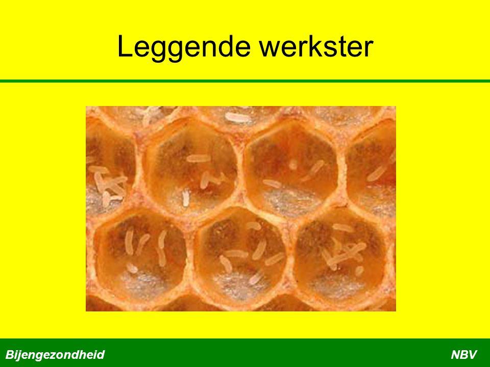 Leggende werkster Bijengezondheid NBV