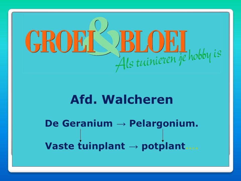 De Geranium → Pelargonium. Vaste tuinplant → potplant….