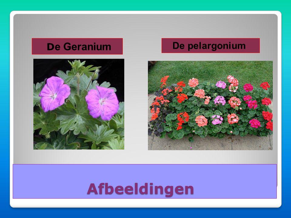De Geranium De pelargonium Afbeeldingen