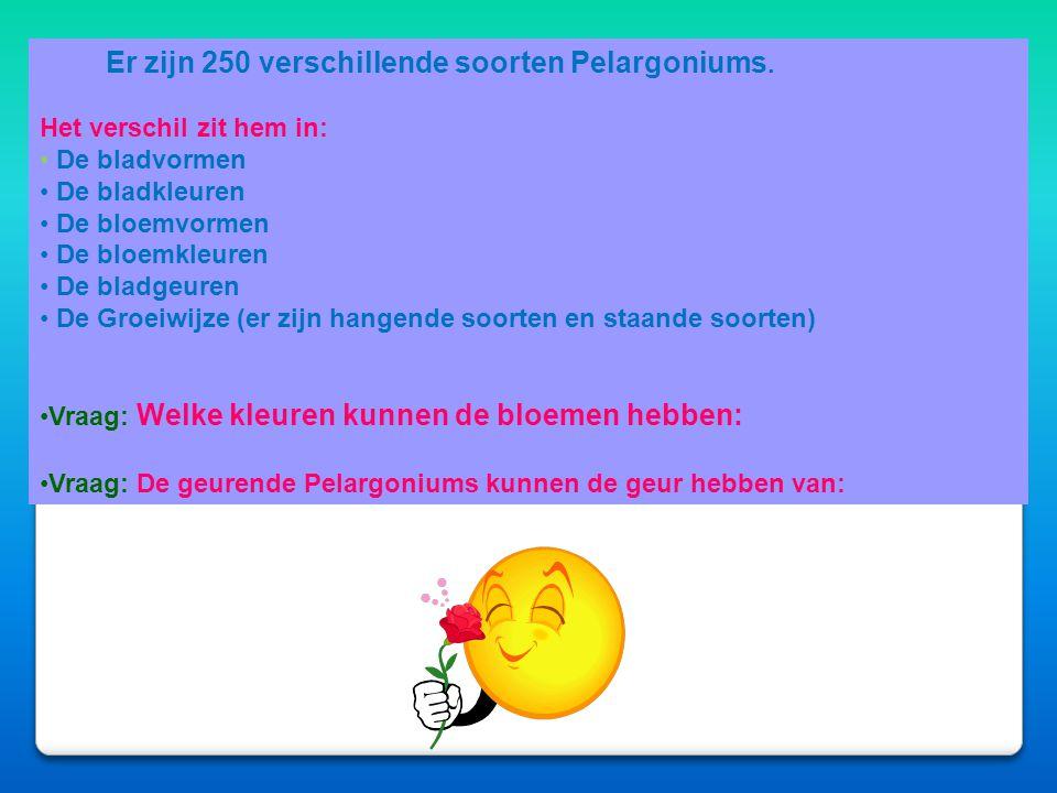 Er zijn 250 verschillende soorten Pelargoniums.